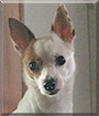 Bella the Chihuahua