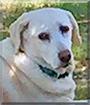 Rosie the Golden Retriever/Labrador