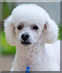 Manolo the Miniature Poodle