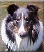 Kenji the Shetland Sheepdog