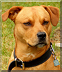 Rocky the American Stafforshire Terrier
