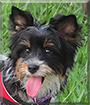 Holly the Biewer Terrier
