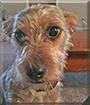 Elliott the Schnauzer/Yorkshire Terrier mix