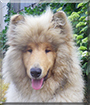 Merlin the Rough Collie