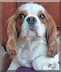 Roni the Cavalier King Charles Spaniel