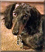 Rylee the Dapple Dachshund