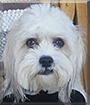 Scooby the Coton de Tulear