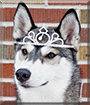 Ame the Siberian Husky
