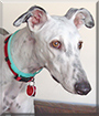 Jules the Galgo