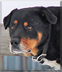 Shepherd the Rottweiler mix