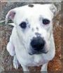 James Dean the American Bulldog/Labrador Retriever