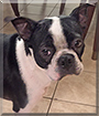 Charlie the Boston Terrier