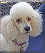 Sammy the Miniature Poodle