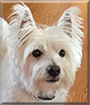 Mr. Fluffy the West Highland Terrier