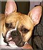 Brody the French Bulldog