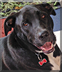 Hershey the Labrador mix