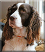 Zack the English Springer Spaniel
