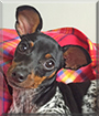 Chipita the Miniature Pinscher