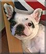 Helga the French Bulldog