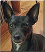 Spike the Chihuahua mix