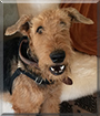 Baxter the Airedale