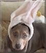 Shiloh the Labrador/Hound mix