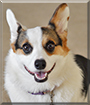 Zelda the Pembroke Welsh Corgi