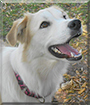 Belle the Great Pyrenees mix