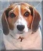 Dorothy the Beagle