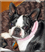 Stormie the Boston Terrier