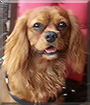 Freckles the Cavalier King Charles Spaniel