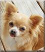 Annie the Chihuahua