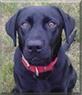 Henry the Labrador Retriever