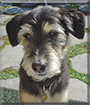 Spike the Terrier mix