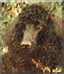 Liberty the Standard Poodle