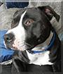 Kilo the Boxer, Staffordshire Terrier, Pitbull mix