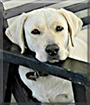Bola the Labrador Retriever