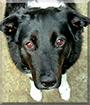 Amber the Labrador, Border Collie mix