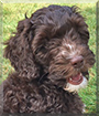 Sadie the Miniature Labradoodle