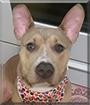 Jasper the American Pitbull Terrier