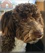 Lyla the Labrador/Poodle mix