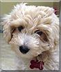 Nola the Bichon, Poodle mix