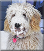Maisie the Golden Retriever/Poodle mix
