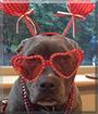 Lola the Pit bull Terrier