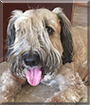 Bailey the Soft-Coated Wheaten Terrier