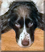 Polly the English Springer Spaniel