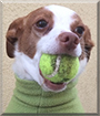 Mitzi the Italian Greyhound/Terrier mix