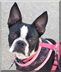 Nala the Boston Terrier