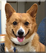 Lucy the Pembroke Welsh Corgi