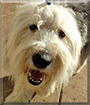 Phyllis the Old English Sheepdog